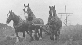 Three horses cutting corn